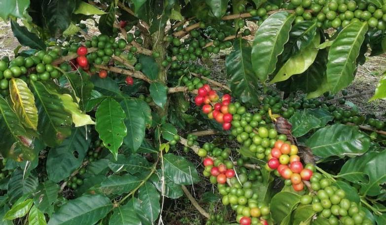 Café Bajo en Carbono