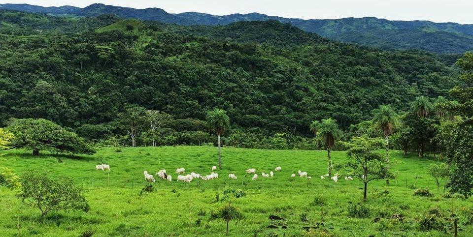 Foto de un potrero con ganado y en el fondo bosque.
